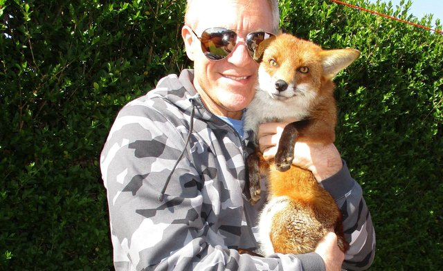 Les Hemstock with Ben the fox. See SWNS story SWSYfox. A man adopted an orphaned fox cub after it crawled into his jacket sleeve for a nap. Les Hemstock, 51, was visiting a wildlife sanctuary where a friend was working, when he met a family of cubs brought in by a member of the public. The skulk were starving, freezing and riddled with ticks, and in desperate need of medical attention if they were to survive. One tiny cub - now called Ben - wandered straight over to Les, making a bed in the sleeve of his jacket where he fell fast asleep.
