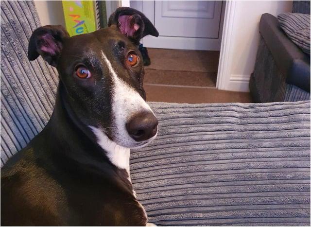 Three year old greyhound Fenton suffered a broken leg.