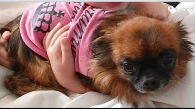 Mercedes the Chihuahua has been reported as stolen from a house in Denaby