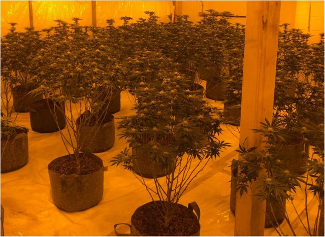Police seized hundreds of cannabis plants at the Thorne premises. (Photo: SYP).