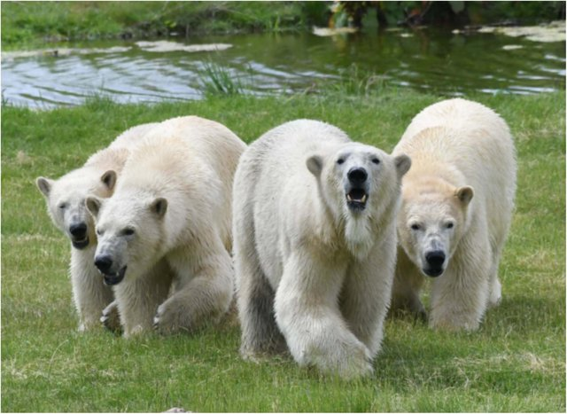 The four bears are new arrivals at YWP.
