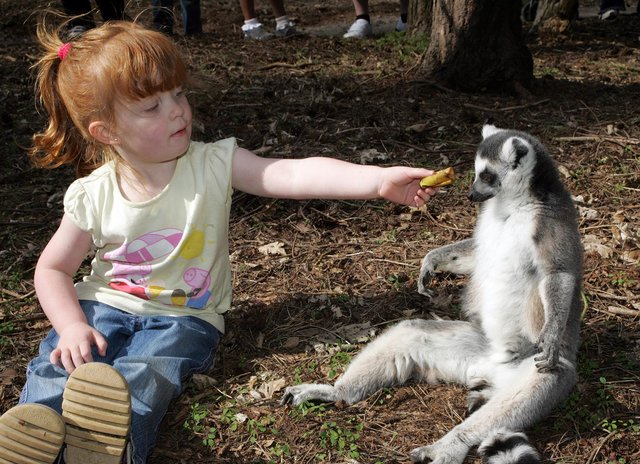 Three-year-old Davina Garner from Doncaster gets pally with a Ring-tail Lemur in 2009