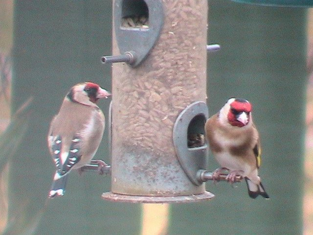 Reader Robert Fox sent in this photograph of a pair of beautifully coloured goldfinches feeding in his garden in Armthorpe.If you have a picture you would like to share with our readers then please get in touch. Email editorial@doncastertoday.co.uk