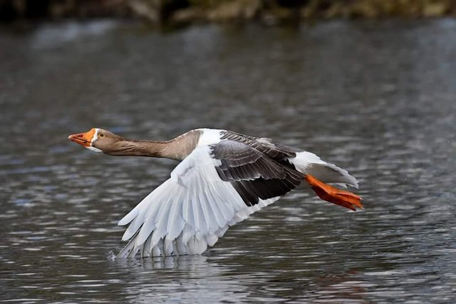 This is our picture of the week which was contributed by Chris Cull from Doncaster. It shows a greylag goose in flight at Sandall Park.If you have a picture you would like to share with our readers then please get in touch. Email editorial@doncastertoday.co.uk
