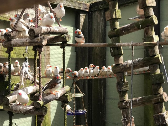 The zebra finches