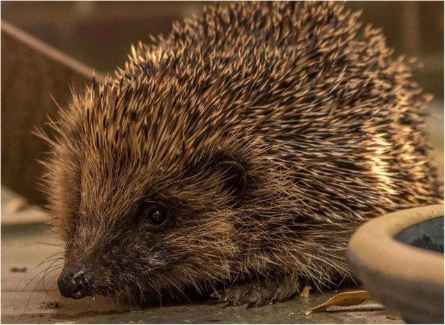 Hedgehogs are at risk of injury by strimmers.