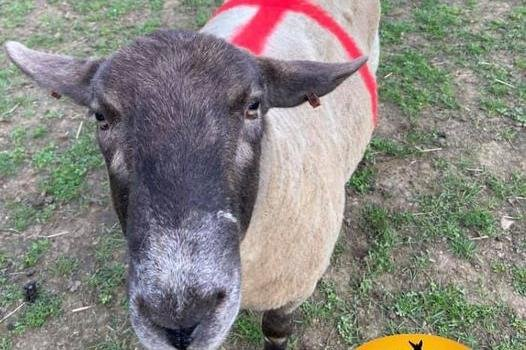Fudge the Sheep sporting England colours ahead of the Euro 020 finals
