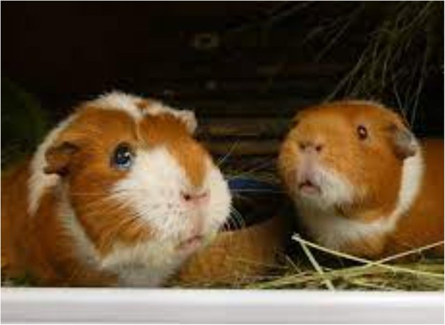 Fancy working with guinea pigs in Doncaster?
