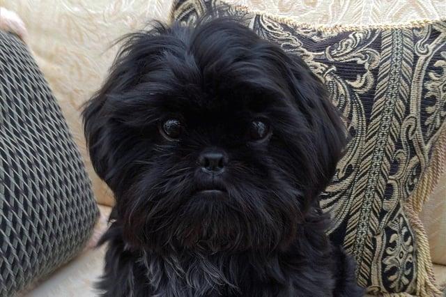 Oscar the Shih Tzu, who was successfully treated for a rare bone marrow condition