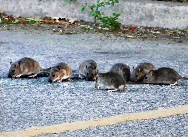 The group of seven rats was spotted in a car park in Bentley. (Photo: Derek Collins).